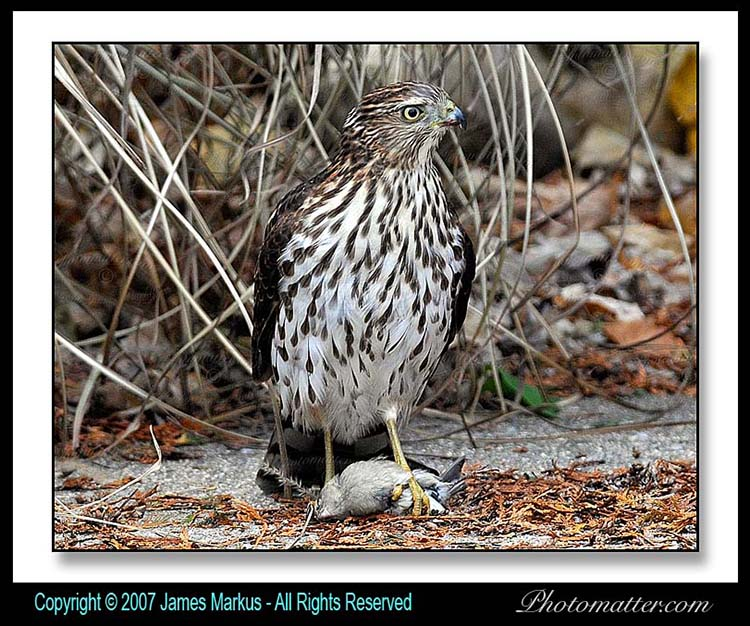 Image of  hawk shot with Nikon D300